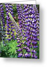 Lovely Lupines Greeting Card