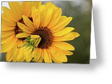Lovely Sunflowers Greeting Card