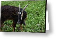 Lovely Up Close Look Into The Face Of A Pygmy Goat Greeting Card