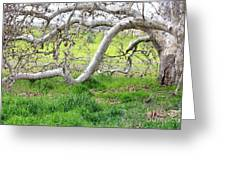 Low Branches On Sycamore Tree Greeting Card