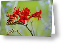 Lucifer Crocosima Flowers Greeting Card