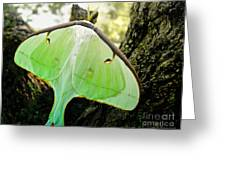 Luna Moth No. 3 Greeting Card