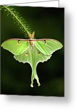 Luna Moth Spreading Its Wings. Greeting Card