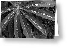 Lupin Leaves With Rain Drops  Greeting Card