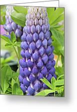 Lupin Persian Slipper Flower Greeting Card