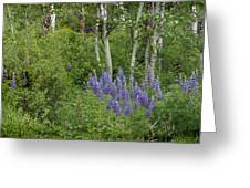 Lupine And Aspens Greeting Card