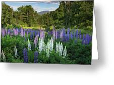 Lupine In The Valley Greeting Card