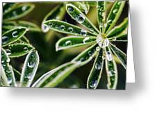Lupine Leaves Decorated With Dew Drops Greeting Card