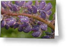 Lupine With Raindrops Greeting Card
