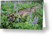 Lupines And Windfall Greeting Card