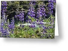 Lupines At The River Greeting Card
