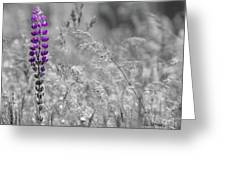 Lupins 2016 26a Greeting Card
