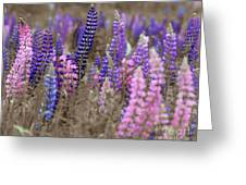 Lupins 2016 28a Greeting Card