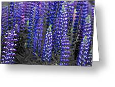 Lupins 2016 34a Greeting Card