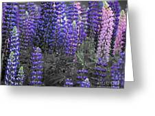 Lupins 2016 35a Greeting Card