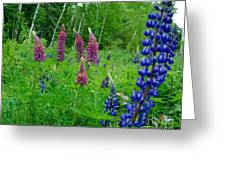 Lupins 2016 4 Greeting Card