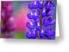 Lupins 36 Greeting Card