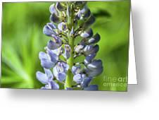 Lupinus Polyphyllus Greeting Card