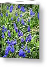 Lush Grape Hyacinth Greeting Card