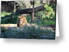 Lying Lion Greeting Card