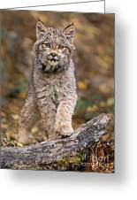 Lynx Kit Greeting Card
