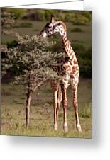 Maasai Giraffe - Giraffe Maasai Greeting Card