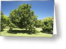 Macadamia Nut Tree Greeting Card by Kicka Witte - Printscapes