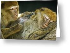 Macaques Jerez De La Frontera Spain Greeting Card
