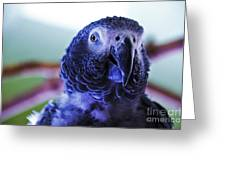 Macaw Parrot Blue Looking At You Greeting Card