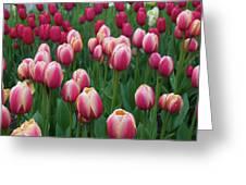 Mackinac Island Tulips 10681 Greeting Card