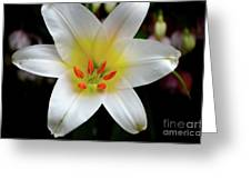 Macro Close Up Of White Lily Flower In Full Blossom Greeting Card