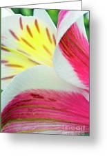 Macro Lily Greeting Card