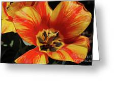 Macro Of A Blooming Striped Yellow And Red Tulip Greeting Card