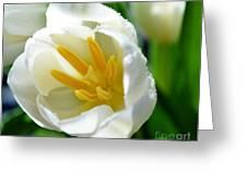 Macros White Tulip May-2011 Greeting Card