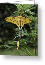 Madagascar Comet Moth Greeting Card