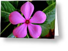 Madagascar Periwinkle Greeting Card
