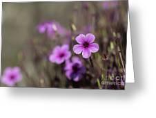 Madeira Island Geranium Greeting Card
