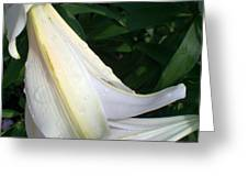 Madonna Lily After Rain Greeting Card