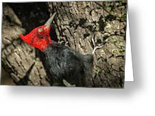Magellanic Woodpecker - Patagonia Greeting Card