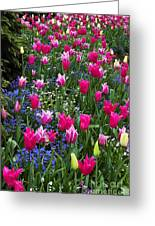 Magenta And White Tulips Greeting Card
