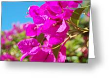 Magenta Bougainvillea Greeting Card