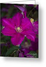 Magenta Clematis Greeting Card