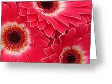 Magenta Gerber Daisies Greeting Card