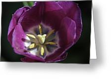 Magenta Tulip Center Squared Greeting Card