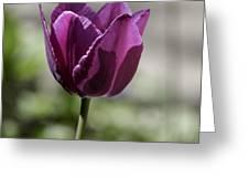 Magenta Tulip Squared Greeting Card
