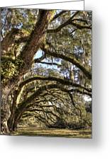 Magnificant Live Oak Trees Color Greeting Card