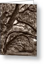 Magnificant Live Oak Trees  Greeting Card