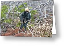 Magnificent Frigatebird Greeting Card