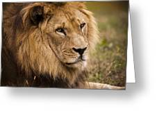 Magnificent Male Lion Greeting Card