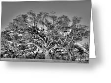 Magnificent Oak Greeting Card